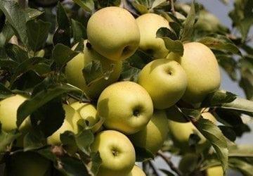 La récolte des pommes !