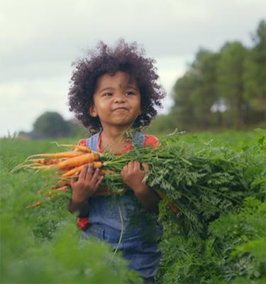 La cueillette des carottes, du 24 au 25 Juillet, chez Philippe Charpentier et Antoine Proffit