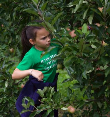 La cueillette des pommes et des poires, du 20 au 21 Août, chez M. Le Prince