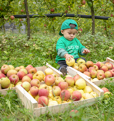 La cueillette de pommes, du 5 au 6 Octobre, chez M. Sfiligoï