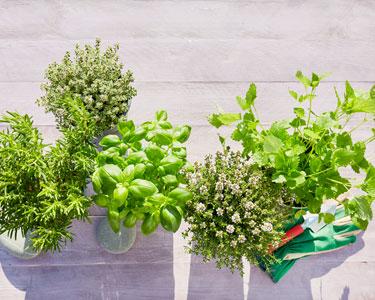 Diversification alimentaire : comment parfumer les purées avec les herbes aromatiques?