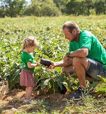 La Cueillette des aubergines chez Alain MOUNIER
